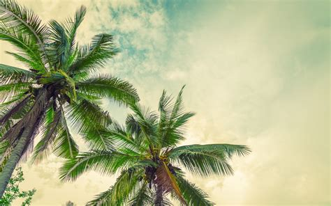 wallpapers palms sunset coconuts   palm tree