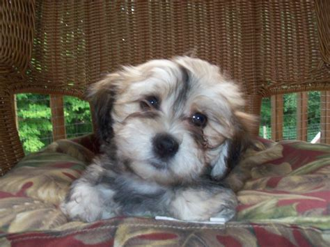 havanese puppies in nj reputable havanese breeder in pa breeds picture