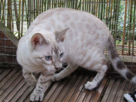 blue eyed snow bengal kitten 3 months old youtube blue eyed silver snow bengal female now sold kettering