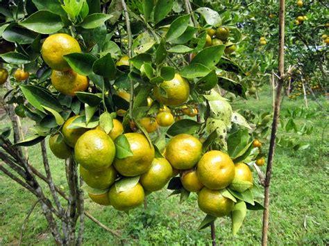Bibit Jeruk Nipis Di Tulungagung mengenal hama tanaman budidaya jeruk