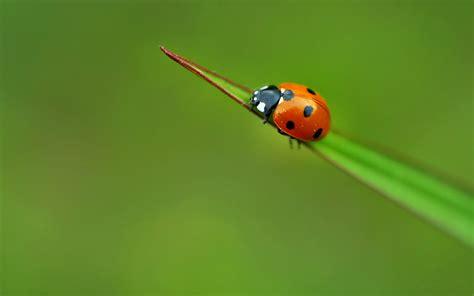ladybug wallpaper 103891