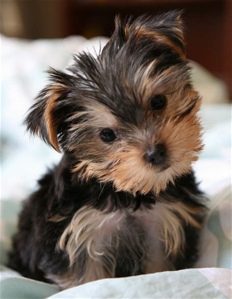 pretty yorkies 27 pictures of terriers