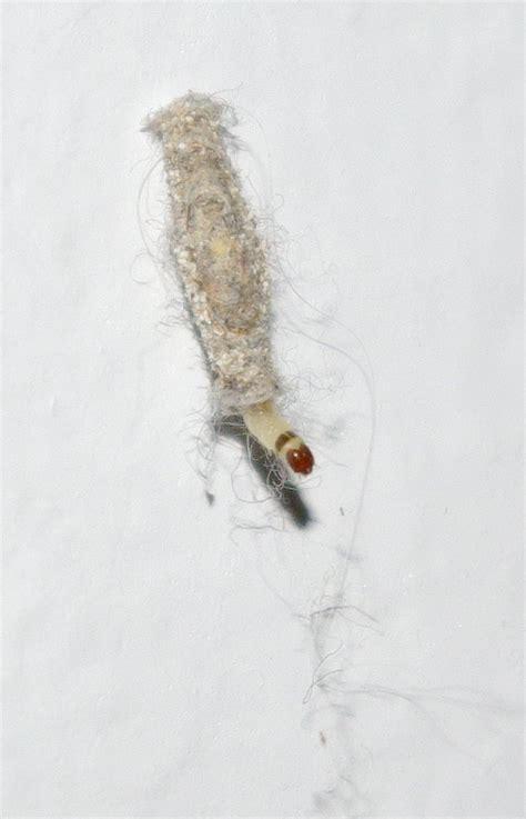 larve in cucina bruco larva specie di insetto 232 forum natura
