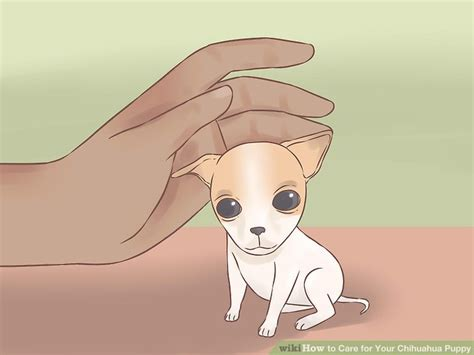 chihuahua puppies care how to take care of a chihuahua puppy goldenacresdogs