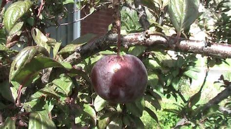 ornamental plum tree fruit prunus cerasifera
