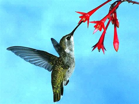 964 hummingbirds may be my favorite flying critter