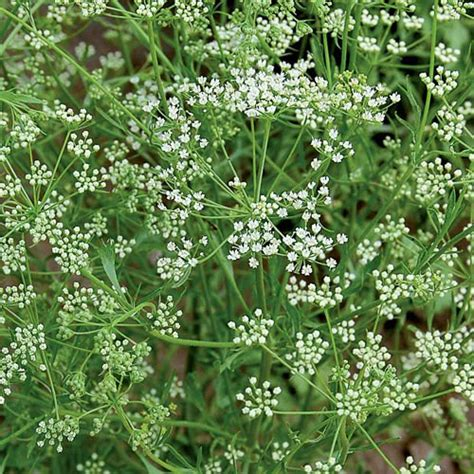 anise herb seeds  gmo planet natural