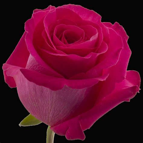 Floy Fuschia pink florecal roses in ecuador