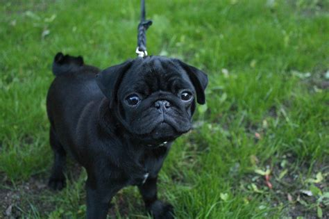 black pug puppy wallpaper pug puppy photo and wallpaper beautiful pug puppy pictures