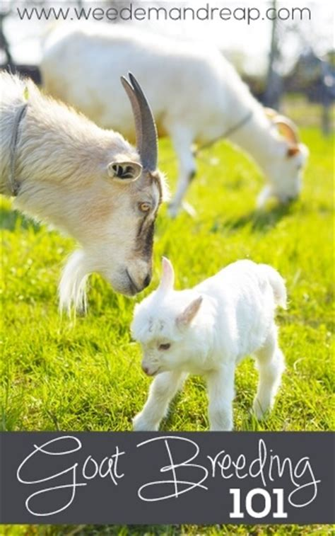 what is the gestation period for a what is the average gestation period for a goat mccnsulting web fc2