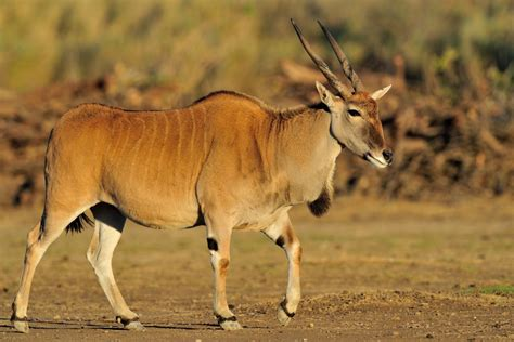 animal elang cape eland r 233 serve africaine de sigean