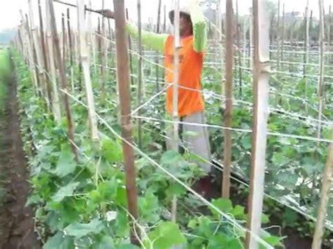 Tali Gawar memasang tali gawar tali srempang pada tanaman mentimun