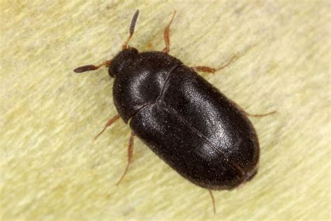 Bed Bugs In Carpet by How To Tell The Difference Between Bed Bugs Versus Carpet