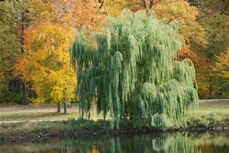 weeping willow tree facts pictures
