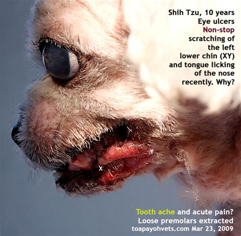 shih tzu itching 031208asingapore toa payoh veterinary vets cat rabbits hamster veterinarian