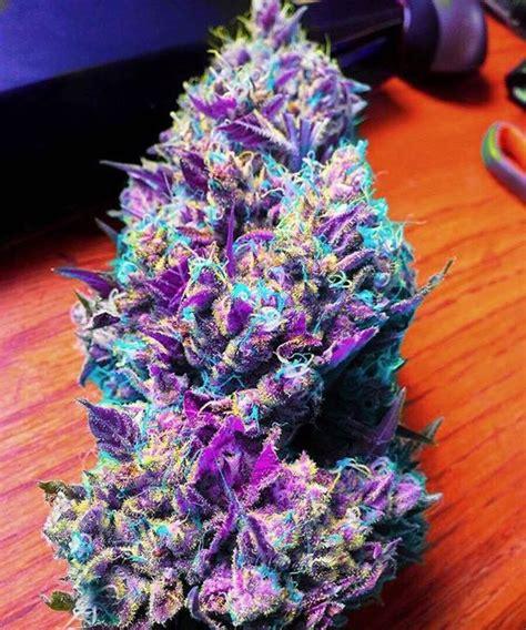 colorful marijuana great colorful marijuana buds marijuana pictures