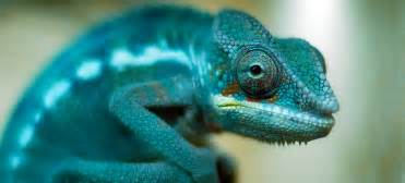 do chameleons change colors scientists worked out how chameleons change color