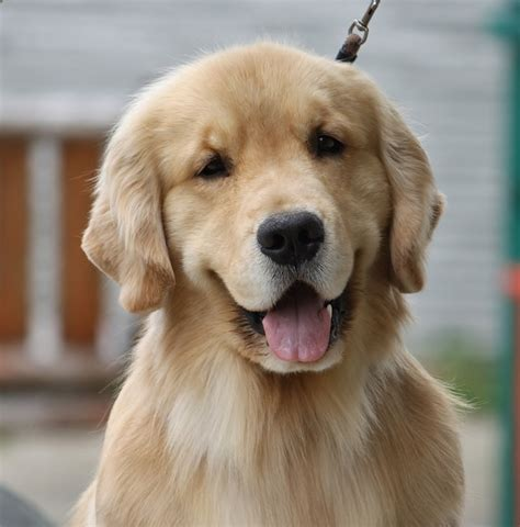 golden retriever drool visited the puppies today page 2 golden retrievers golden retriever forums