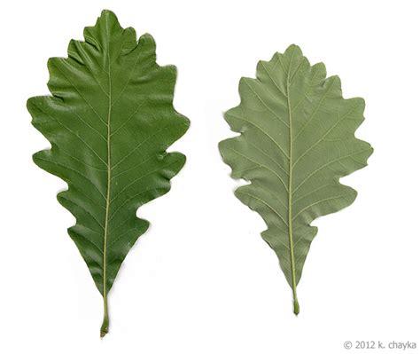 Quercus Bicolor Sw White Oak Minnesota Wildflowers White Oak Leaf