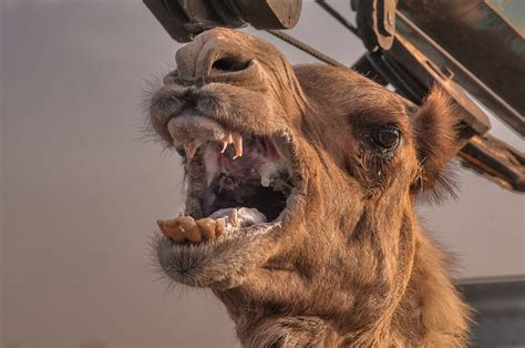 biting owner pissed camel bites owner s after left up in sweltering heat all day
