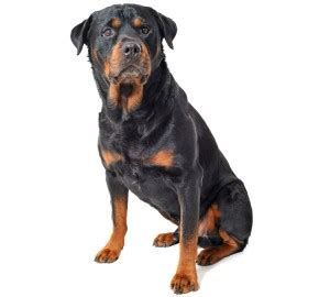 rottweiler rescue in illinois rottweiler pet insurance photo