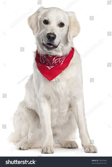 golden retriever handkerchief golden retriever wearing handkerchief 9 months sitting in front of white