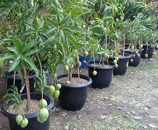 Bibit Tanaman Hias Cactus Dan Succulent Mammillaria Elongata 14 best tanaman hias images on plants bonsai and fish aquariums