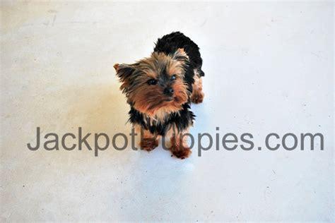 8 lb yorkie teacup yorkies for sale teacup terrier puppies for sale teacup yorkie