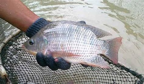 Bibit Ikan Nila Di Lung jual bibit ikan nila mojokerto