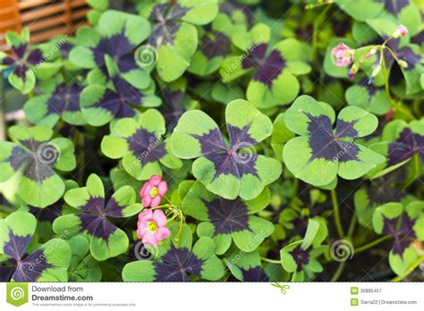 three leaf clover plant oxalis up of four leaf clover stock image image 30885457