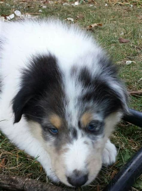 border collie puppies oregon 17 best images about collies color genetics health on coats