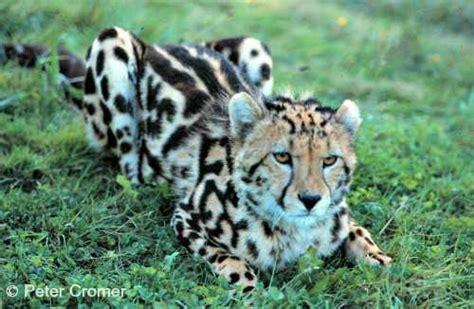 cheetah safety 8080 eur 46 cheetah international society for endangered cats isec
