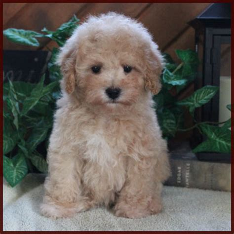 poochon puppies for sale bichon poodle poochon bichpoo puppies for sale in iowa breeds picture