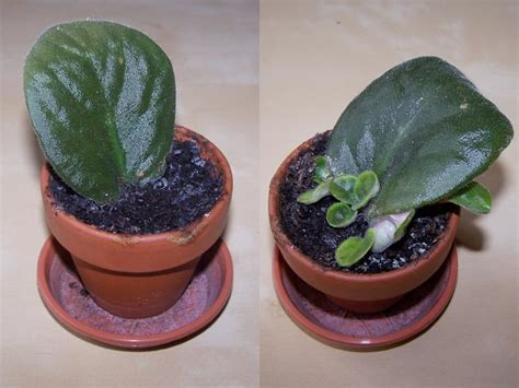 Best House Plant by Saintpaulia Ionantha African Violet