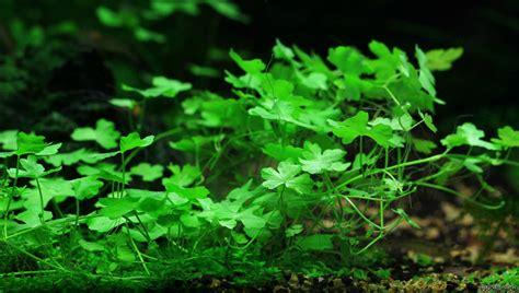 Aquascaping Forum Hydrocotyle Cf Tripartita Flowgrow Aquatic Plant Database