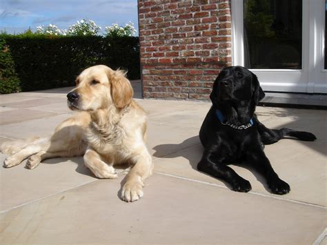 compare golden retriever and labrador retriever golden labrador golden retriever lab mix newhairstylesformen2014