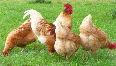 Backyard Chickens And Isa Brown De Website Kippenfreak