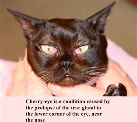 with cherry eye cherry eye