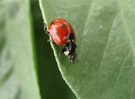 gua de insectos de agroa insectos benficos y enemigos naturales para el control de pulgones gua fotogrfica