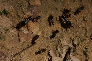 what color are termites file angkor termites 6725962025 jpg