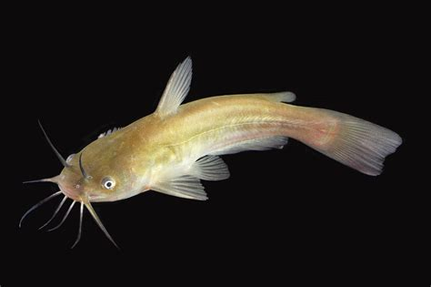 Bottom Feeder Fish For Ponds 301 moved permanently