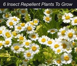 6 bug repellent plants to grow homestead survival