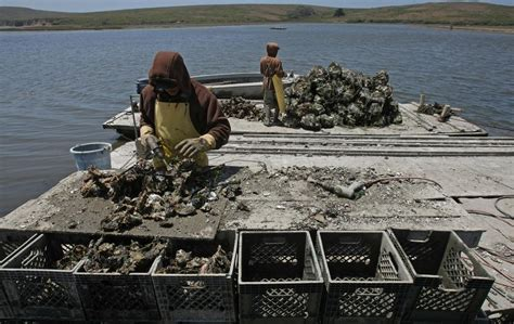 scow bay oyster farm nightcaps drakes bay recalls some not so fabulous oysters