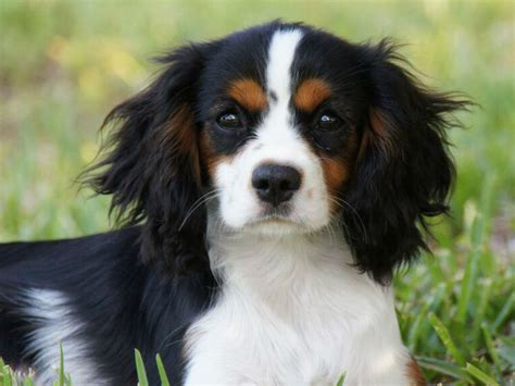 puppy adolescence your adolescent puppy and changes to expect american kennel club