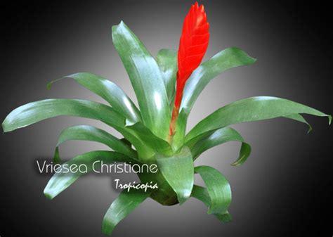 Plants For The House by Tropicopia En Ligne Image Brom 233 Liac 233 E Vriesea