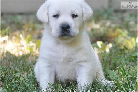 dogs for sale louisville ky labrador puppies for sale in louisville kentucky ky silver lab breeds picture