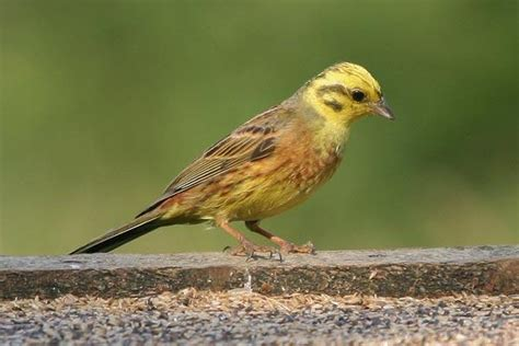 yellowhammer alabama official state birds pinterest