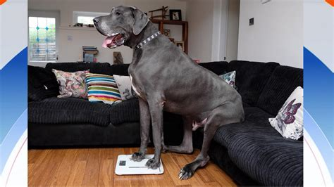dogs in the news meet balthazar the in he weighs 210 pounds
