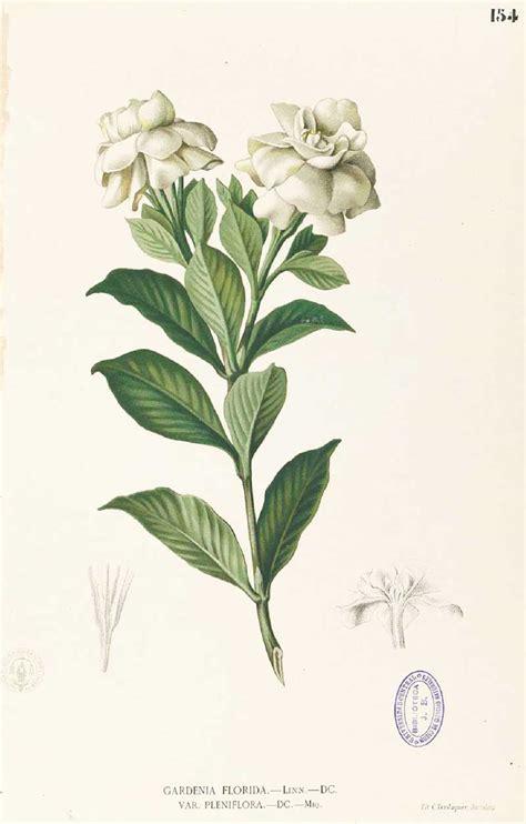 gardenia fiore gardenia il fiore all occhiello