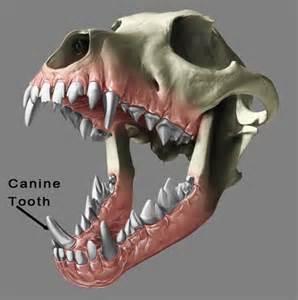 puppy canine teeth your s teeth